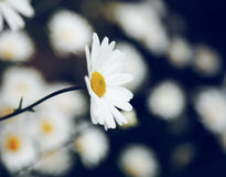Άσπρη μαργαρίτα Στοκ φωτογραφίες με δικαίωμα ελεύθερης χρήσης