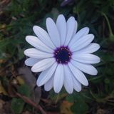 Άσπρη μαργαρίτα Στοκ φωτογραφία με δικαίωμα ελεύθερης χρήσης