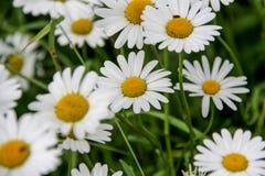 Άσπρη μαργαρίτα Στοκ εικόνα με δικαίωμα ελεύθερης χρήσης