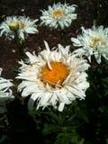 Άσπρη μικροσκοπική μαργαρίτα Στοκ φωτογραφία με δικαίωμα ελεύθερης χρήσης