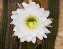 Άσπρη μπροστινή άποψη λουλουδιών κάκτων Στοκ εικόνα με δικαίωμα ελεύθερης χρήσης
