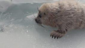Άσπρη νεογέννητη σφραγίδα στον πάγο της λίμνης Baikal στη Ρωσία, κοντά στη κάμερα απόθεμα βίντεο