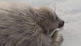 Άσπρη νεογέννητη σφραγίδα στον πάγο της λίμνης Baikal στη Ρωσία, που εξετάζει τη κάμερα φιλμ μικρού μήκους