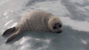 Άσπρη νεογέννητη σφραγίδα στον πάγο της λίμνης Baikal στη Ρωσία, που εξετάζει τη κάμερα απόθεμα βίντεο