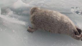 Άσπρη νεογέννητη σφραγίδα στον πάγο της λίμνης Baikal στη Ρωσία Πλάγια όψη απόθεμα βίντεο