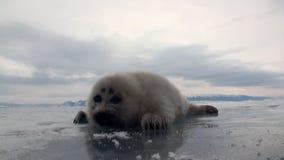 Άσπρη νεογέννητη σφραγίδα στον πάγο της λίμνης Baikal στη Ρωσία, το γενικό σχέδιο απόθεμα βίντεο