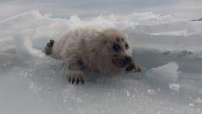 Άσπρη νεογέννητη σφραγίδα στον πάγο της λίμνης Baikal στη Ρωσία φοβισμένη της κάμερας απόθεμα βίντεο