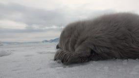 Άσπρη νεογέννητη σφραγίδα στον πάγο της λίμνης Baikal στη Ρωσία, κινηματογράφηση σε πρώτο πλάνο απόθεμα βίντεο