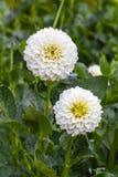 Άσπρη ντάλια στην άνθιση σε έναν κήπο Στοκ φωτογραφία με δικαίωμα ελεύθερης χρήσης