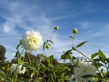 Άσπρη ντάλια Στοκ Φωτογραφία