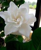 Άσπρη ομορφιά λουλουδιών Στοκ Φωτογραφία
