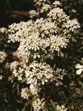 Άσπρη ομορφιά λουλουδιών Στοκ Φωτογραφίες