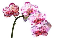 άσπρη ορχιδέα λουλουδιών Στοκ εικόνες με δικαίωμα ελεύθερης χρήσης