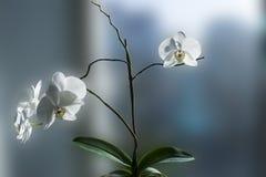Άσπρη ορχιδέα φυτών λουλουδιών με τα φύλλα Στοκ Φωτογραφία