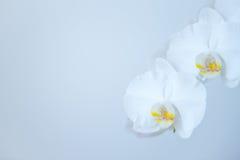 Άσπρη ορχιδέα Στοκ Φωτογραφία