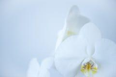 Άσπρη ορχιδέα Στοκ Εικόνες