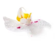 Άσπρη ορχιδέα Στοκ εικόνα με δικαίωμα ελεύθερης χρήσης