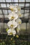 Άσπρη ορχιδέα Phalaenopsis Στοκ Εικόνες