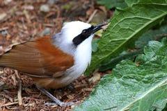 Άσπρη λοφιοφόρη κατανάλωση πουλιών τσιχλών γέλιου (leucolophus Garrulax) Στοκ φωτογραφία με δικαίωμα ελεύθερης χρήσης