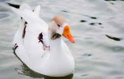 Άσπρη πάπια με τον πορτοκαλή λογαριασμό και τα καφετιά φτερά που κολυμπούν στο νερό Στοκ Φωτογραφία