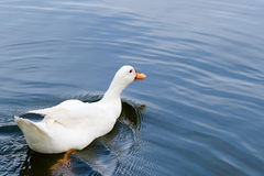 Άσπρη πάπια που κολυμπά στη λίμνη στοκ εικόνες