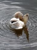 Άσπρη πάπια στο νερό Στοκ εικόνες με δικαίωμα ελεύθερης χρήσης