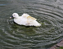 Άσπρη πάπια στο νερό Στοκ φωτογραφίες με δικαίωμα ελεύθερης χρήσης