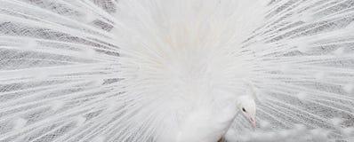 Άσπρη παρουσίαση φτερών peacock Στοκ Εικόνες