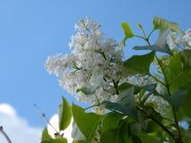 Άσπρη πασχαλιά στοκ φωτογραφία με δικαίωμα ελεύθερης χρήσης