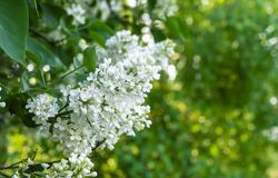 Άσπρη πασχαλιά σε έναν κλάδο δέντρων Floral υπόβαθρο της άσπρης πασχαλιάς στοκ φωτογραφία με δικαίωμα ελεύθερης χρήσης