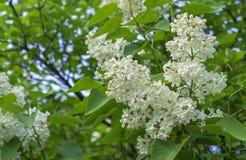 Άσπρη πασχαλιά σε έναν κλάδο δέντρων Floral υπόβαθρο της άσπρης πασχαλιάς στοκ εικόνες