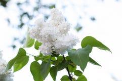 Άσπρη πασχαλιά Στοκ Εικόνα