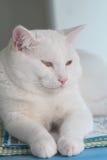 Άσπρη παχιά γάτα Στοκ εικόνα με δικαίωμα ελεύθερης χρήσης
