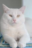 Άσπρη παχιά γάτα Στοκ Εικόνα
