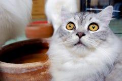Άσπρη περσική γάτα στην Ασία στοκ εικόνες