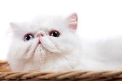 Άσπρη περσική γάτα Στοκ Φωτογραφία