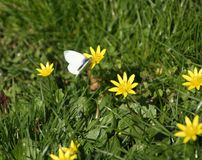 Άσπρη πεταλούδα σε ένα λιβάδι λουλουδιών την άνοιξη Στοκ εικόνα με δικαίωμα ελεύθερης χρήσης