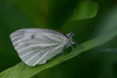 Άσπρη πεταλούδα σε ένα φύλλο Στοκ εικόνες με δικαίωμα ελεύθερης χρήσης