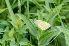 Άσπρη πεταλούδα σε μια πράσινη χλόη Στοκ Φωτογραφίες