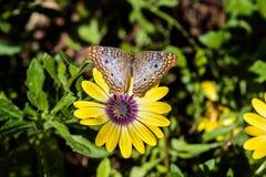 Άσπρη πεταλούδα Peacock στο κίτρινο λουλούδι, πράσινο υπόβαθρο Στοκ φωτογραφία με δικαίωμα ελεύθερης χρήσης