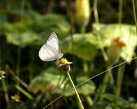 Άσπρη πεταλούδα και ισπανικά λουλούδια βελόνων Στοκ φωτογραφία με δικαίωμα ελεύθερης χρήσης