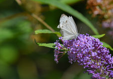 Άσπρη πεταλούδα που στηρίζεται στο πορφυρό λουλούδι Στοκ εικόνα με δικαίωμα ελεύθερης χρήσης
