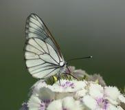 Άσπρη πεταλούδα σε ένα λουλούδι στοκ εικόνες με δικαίωμα ελεύθερης χρήσης