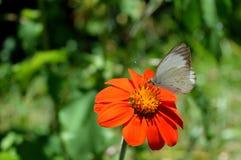 Άσπρη πεταλούδα σε ένα όμορφο λουλούδι Στοκ Εικόνες