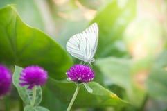 Άσπρη πεταλούδα στα πορφυρά λουλούδια στον κήπο Στοκ Εικόνα