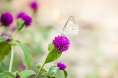 Άσπρη πεταλούδα στα πορφυρά λουλούδια στον κήπο Στοκ Εικόνες
