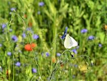 Άσπρη πεταλούδα στο μικρό μπλε λουλούδι Στοκ εικόνα με δικαίωμα ελεύθερης χρήσης