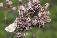 Άσπρη πεταλούδα στο ξηρό λουλούδι Στοκ Φωτογραφία