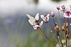 Άσπρη πεταλούδα Στοκ φωτογραφίες με δικαίωμα ελεύθερης χρήσης