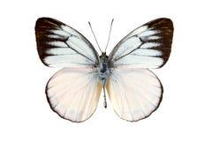 Άσπρη πεταλούδα Στοκ φωτογραφία με δικαίωμα ελεύθερης χρήσης